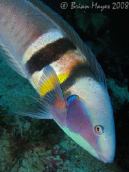 This handsome fish is a male Sandager's Wrasse (Coris san... by Brian Mayes 